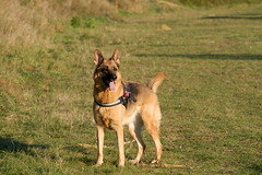 Vicky_20181104_48421_M (Black Labrador13) Tags: vicky chien dog hond berger allemand