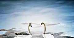 * (PattyK.) Tags: snapseed nikond3100 ioannina giannena giannina epirus ipiros balkans hellas ellada greece grecia griechenland whereilive 2018 autumn november νοέμβριοσ ιωάννινα γιάννενα ελλάδα ήπειροσ βαλκάνια ηπόλημου πουλιά birds lake pamvotida lakepamvotida ioanninalake bythelake water lakeside lakefront waterfront swans reflections two reflectionsinthewater κύκνοι λίμνη παμβώτιδα λίμνηπαμβώτιδα λίμνηιωαννίνων παραλίμνιο μώλοσ νερό αντανάκλαση δύο ζευγάρι couple