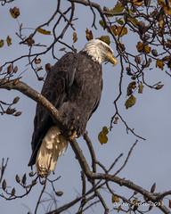 Bald Eagle 2 (strjustin) Tags: baldeagle eagle bird birdsofprey predator beautiful animal conowingodam maryland
