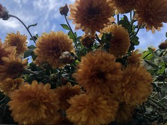 always sunny in November (journeykhaled77) Tags: blue skies flowers fall yellow orange