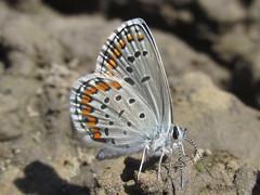 Plebejus melissa melissa (orange-margined blue), male (tigerbeatlefreak) Tags: plebejus melissa orangemargined blue insect butterfly lepidoptera lycaenidae nebraska
