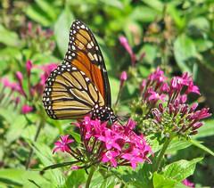 last of the Monarchs ... (Vicki's Nature) Tags: monarch butterfly migrant orange black spots purple flowers blossoms gibbsgardens georgia vickisnature canon s5 1619 dof bokeh colorful