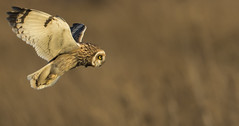 Short.eared owl - 'Steaming in' on the target (Ann and Chris) Tags: avian amazing awesome bird beautiful eye flying gorgeous hunting hunt impressive owl shortearedowl shorteared wild wings