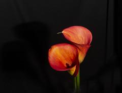 Calla Lillies (Bev-lyn) Tags: callalily flower orange red blackindoors