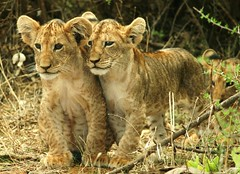 IMG_9567 (alina bidjelova) Tags: lioncubs safari kenya