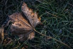 Frozen ground (ralfkai41) Tags: grass autumn maple ahorn macro herbst gefroren nature makro frost gras outdoor blatt leaf natur frozen