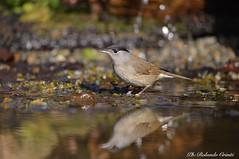 Capinera _004 (Rolando CRINITI) Tags: capinera uccelli uccello birds ornitologia avifauna castellettomerli natura