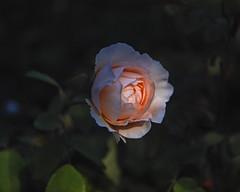 2018 Autumn rose (shinichiro*) Tags: 20181102sdim6807 2018 crazyshin sigmasdquattroh sdqh sigma1770mmf284dcmacrohsm november autumn yokohama 横浜イングリッシュガーデン rose flower macro 31542586977 4983492 201904gettyuploadesp