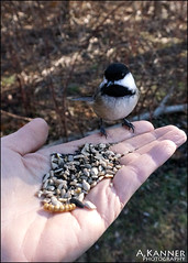 Eating Out Of Our Hands... (angelakanner) Tags: sonynex6 elizabethmortonbirdsanctuary bird seeds closeup amazing