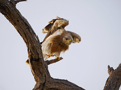 Claw (igor29768) Tags: tawny eagle tsavo kenya bird africa panasonic lumix gx7 100300mm