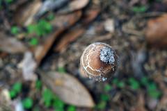 Mushroom (Anna Peterson) Tags: pentax pentaxk3 vivitar mushroom manualfocus fullymanual vivitar55f28macro