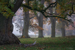 Fall'ing in Love with the Tao (ludwigriml) Tags: falltrees grass horse horses meadow misty oak oakpasture oaktrees outdoor treetrunk wood yellow autumn branches fall fog foggy foliage horsepasture leaf mist moss nature oakwood oakleaves orange pasture treebranches trees