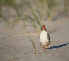 Mess Around (Kathy Macpherson Baca) Tags: bird birds tern summer nest chicks world sand ocean planet migrate eggs preserve fly earth dunes
