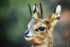 Portrait of a klipspringer. (SuzieAndJim) Tags: suzieandjim narure portrait antelope africa southafrica karoonationalpark karoo klipspringer