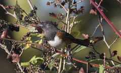Spotted in the blackberries (woodwindfarm) Tags: spotted towhee male tualatinrivernationalwildliferefuge