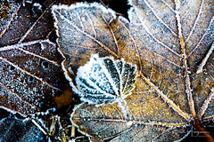 Leaf and frost (PaulHoo) Tags: leaf autumn tree forest nature macro closeup detail botshol 2018 nikon d750 frost frozen cold contrast