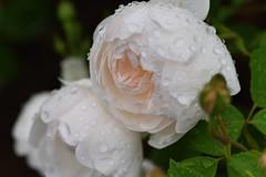Rose 'Gramis Castle' raised in UK (naruo0720) Tags: rose englishroses gramiscastle englishrosescoleection nikonscamera d810 sigmalenses 105mmf28exdgoshsm i薔薇 バラ イギリスのバラ ギラミスキャッスル イギリスのバラコレクション ニコンのカメラ シグマのレンズ