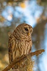 Introspection (agnish.dey) Tags: owl barredowl wildlife bird birding birdwatching bokeh birdsofprey portrait perched naturallight nature naturephotograph nikon naturethroughthelens florida animalplanet coth d500