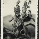 A2-288 Barfüßer Ablum, Fingerhut Pflanze, 1920-1940 thumbnail