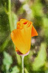 Closed For Business (p) (davidseibold) Tags: america benaroad california californiapoppy canonrebelxsi jfflickr kerncounty nature photosbydavid poppy postedonflickr unitedstates usa wildflower