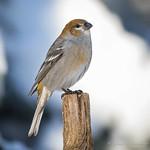 Pine Grosbeak - Female thumbnail
