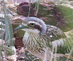 Bush Stone-curlew at Victoria Pt... (Anni - with camera) Tags: bushstonecurlew bushthickknee victoriapoint sequeensland coastcasuarina