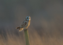 Short-eared Owl (Asio flammeus ) (Dale Ayres) Tags: short eared owl asio flammeus bird nature wildlife wood grass