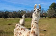 A llama ham (Spudmaniac) Tags: llama augusta evans georgia