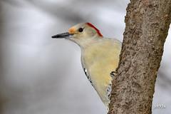 Red-bellied Woodpecker (jt893x) Tags: 150600mm bird d500 female jt893x melanerpescarolinus nikon nikond500 redbelliedwoodpecker sigma sigma150600mmf563dgoshsms woodpecker thesunshinegroup coth alittlebeauty coth5 ngc sunrays5
