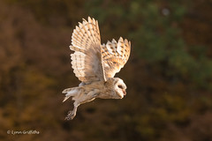 Barn Owl - Late evening 501_5350.jpg (Mobile Lynn) Tags: birds owlsrelatives inflight owl barnowl nature bird fauna flight flying strigiformes tytoalba wildlife nocturnal rimavskásobota banskábystricaregion slovakia sk coth specanimal coth5