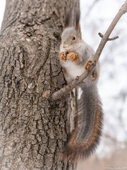 Squirrel with a fluffy tail eating nuts on a tree branch in the winter. (Berilyon) Tags: squirrel fluffy animal brown cute eat forest funny fur furry mammal nature nut park pretty rodent sciurus close grey winter wildlife background tail wild