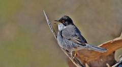 Sardinian Warbler      (Sylvia melanocephala) (nick.linda) Tags: sardinianwarbler sylviamelanocephala malesardinianwarbler warblers wildandfree spain cabodepalos canon7dmkii canon100400mkll