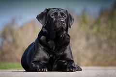 look here (uwe.kast) Tags: labrador labradorretriever labradorredriver hund haustier dog bokeh bichou panasonic lumix g9 100300