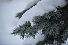 Snow covered pine tree (Karolina Wasylyk) Tags: tree branch fir christmas pine spruce snow green winter nature white isolated evergreen decoration needle xmas holiday forest newyear season plant frost branches twig coniferous