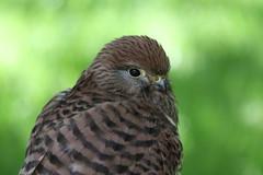 IMG_1491 (Stefan Kusinski) Tags: hemsley duncombe ncbp birdofprey