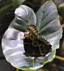 Blue Morpho with wings closed, at the Osler Rain Forest. (Ruby 2417) Tags: butterfly morpho underwing owl leaf museum academy science golden gate park san francisco rain forest osler