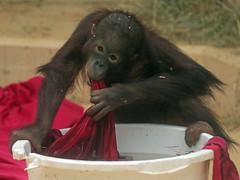 orangutan Sabbar Ouwehands 094A0116 (j.a.kok) Tags: orangutan orang orangoetan animal aap ape asia azie mammal monkey mensaap primate primaat zoogdier dier sabbar ouwehands