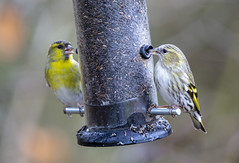Siskin (marra121) Tags: nuthatch long tailed tit great blue siskin red squirrel whitehaven cumbria silver meadow wood birds