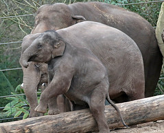asiatic elephant Nicolai, Yindee and sanuk 094A0210 (j.a.kok) Tags: olifant asiaticelephant aziatischeolifant animal artis asia ape elephant mammal zoogdier dier nicolai sanuk