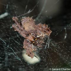 Portia sp. found in the web of a Cyrtophora sp. (Tentweb Weaver) (GeeC) Tags: animalia arachnida araneae araneomorphae arthropoda cambodia jumpingspiders kohkongprovince nature portia salticidae spartaeinae spiders tatai truespiders