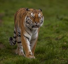 Majestic Tschuna-1 (tiger3663) Tags: amur tiger tschuna yorkshire wildlife park majestic