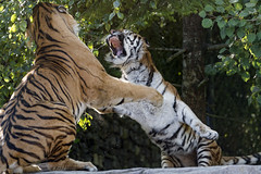 An argument between Elena and Sayan IV (Tambako the Jaguar) Tags: tiger big wild cat siberian amur male female couple fighting argument violent action angry pissedoff unfriendly jumping cliff rock stone openmouth portrait zürich zoo switzerland nikon d5