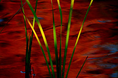 Autumn Cattails (NaturalLight) Tags: cattails red reflections autumn chisholmcreekpark wichita kansas naturephotography
