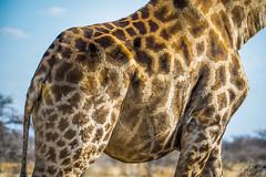 DSC00254 (philliphalper) Tags: namutoni etosha nimabia giraffe