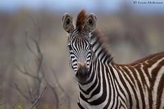 Burchell's Zebra (leendert3) Tags: leonmolenaar southafrica krugernationalpark wildlife nature mammals burchellszebra ngc naturethroughthelens npc