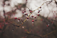 Amazed (Violet Paradise) Tags: nature berries berry red branches branch tree bokeh blurry shallowdof rain drops raindrops dreamy dreaming dream awe deep calm quiet silence forest woods hike