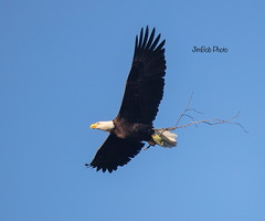 Working on a new nest (jimbobphoto) Tags: baldeagle eagle bird flight nest nature