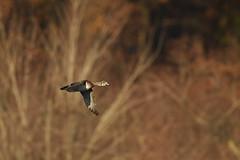 Wood duck (chmptr) Tags: oiseau duck animalier animal wildlife bird canard