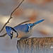Blue Jay in the snow (cwnlsl) Tags: