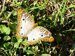 White Peacock - (Anartia jatrophae) (dbarlow) Tags: whitepeacock anartiajatrophae butterfly florida